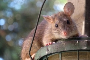 Rat extermination, Pest Control in Mortlake, SW14. Call Now 020 8166 9746