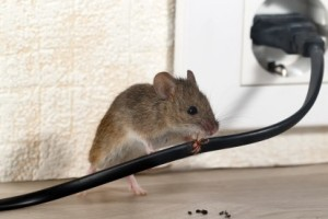 Mice Control, Pest Control in Mortlake, SW14. Call Now 020 8166 9746